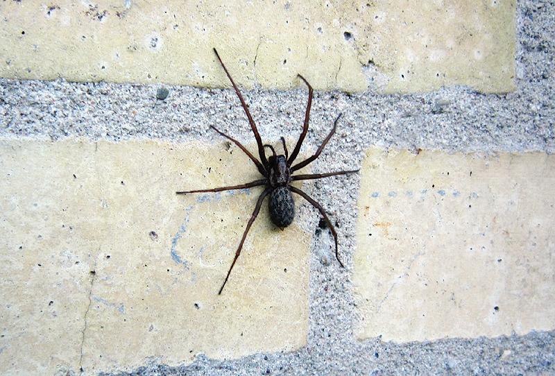 edderkopper danmark